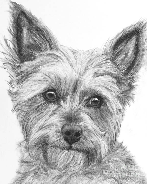 Yorkie Drawing Poster