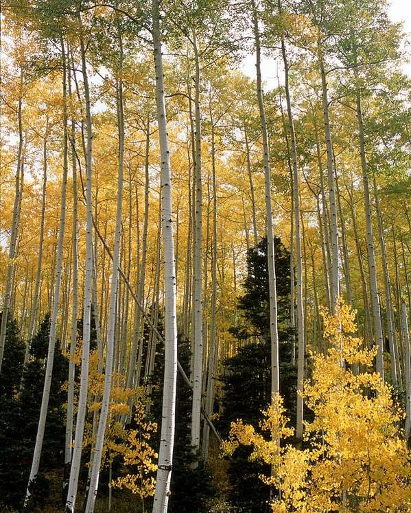 Landscapes Poster featuring the photograph Young Aspens by Eric Glaser