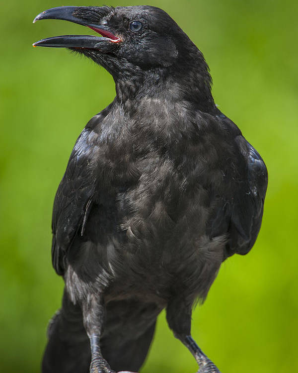 Raven Poster featuring the photograph Young Raven by Tim Grams