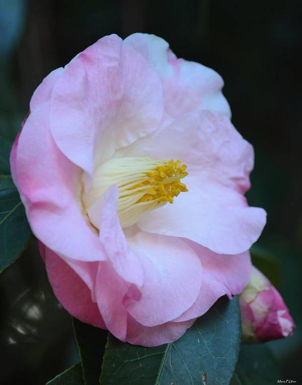 Youthful Camelia Poster featuring the photograph Youthful Camelia by Maria Urso
