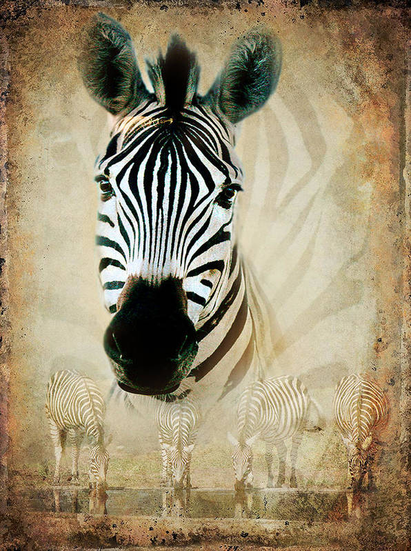 Zebra Poster featuring the photograph Zebra Profile by Ronel Broderick