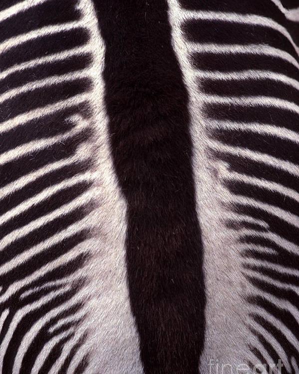 Zebra Poster featuring the photograph Zebra Stripes Closeup by Anna Lisa Yoder