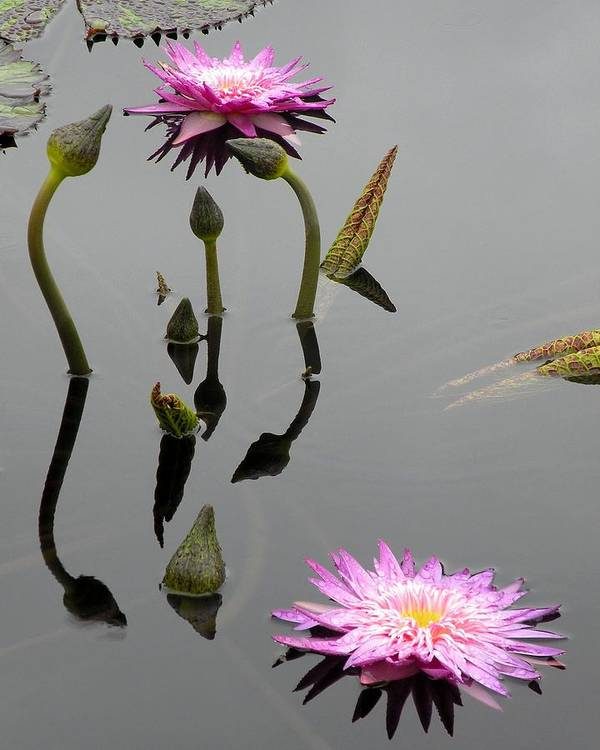 Pink Lilies Poster featuring the photograph Zen Lilies by Kim Bemis