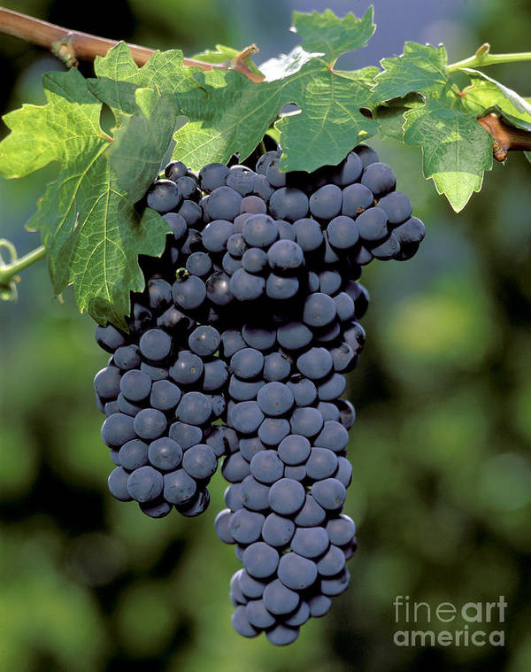 Cluster Poster featuring the photograph Zinfandel Wine Grape Clusters by Craig Lovell