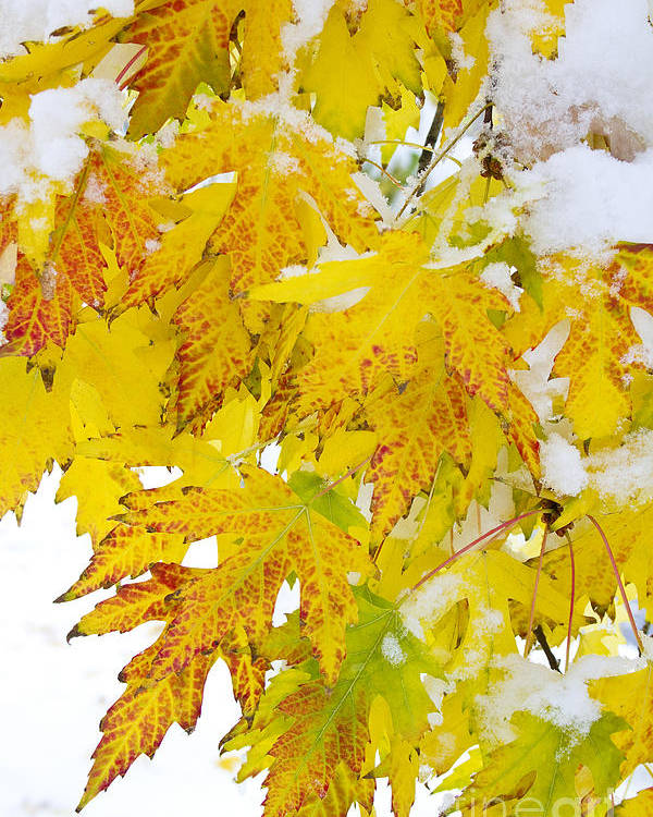 Snow Poster featuring the photograph Autumn Snow Portrait by James BO Insogna