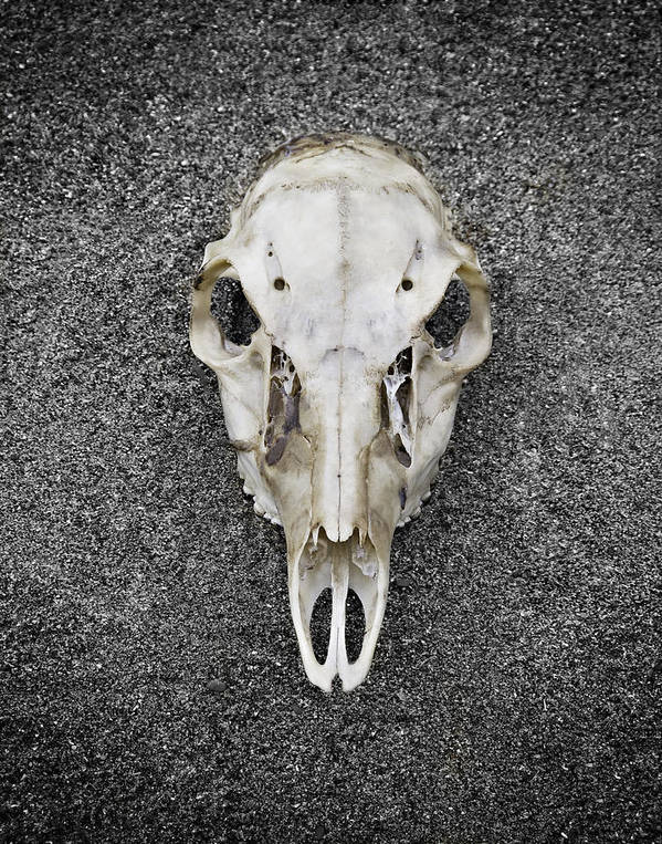 Deer Poster featuring the photograph 0710-0099 Deer Skull On The Buffalo River by Randy Forrester
