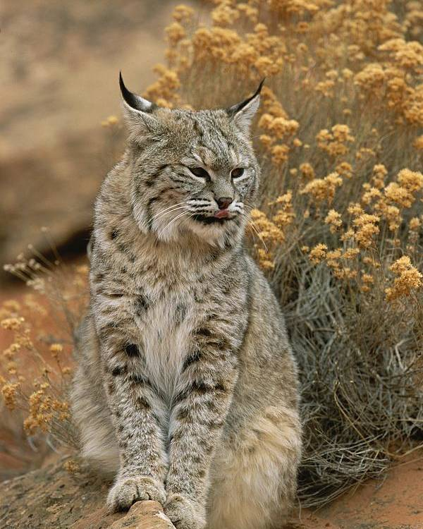Animals Poster featuring the photograph A Bobcat by Norbert Rosing