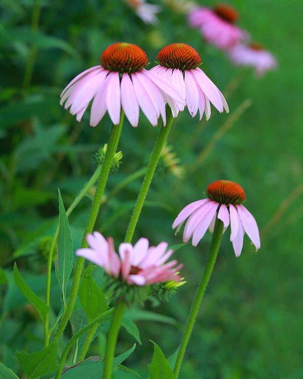 Nature Photo Poster featuring the photograph African Daisies 5 by Vivian Cosentino