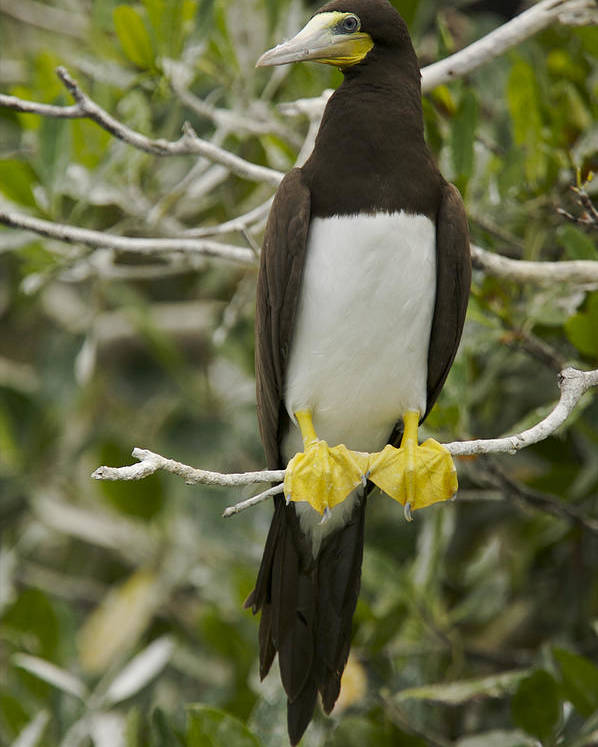 Photography Poster featuring the photograph Brown Booby, Sula Leucogaster by Tim Laman