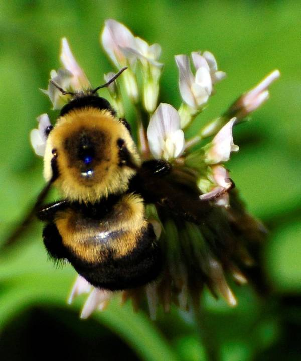 Bee Poster featuring the photograph Busy Bee by Terri Albertson