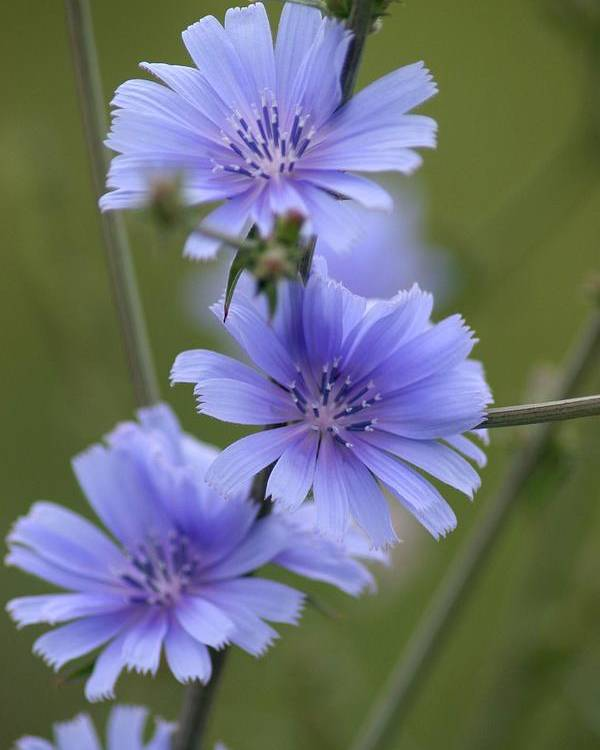 Wildflower Poster featuring the photograph Chicory by Rick Rauzi