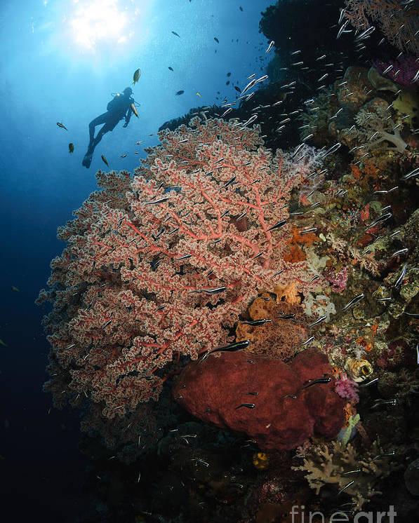 Diver Poster featuring the photograph Diver Over Soft Coral Seascape by Todd Winner