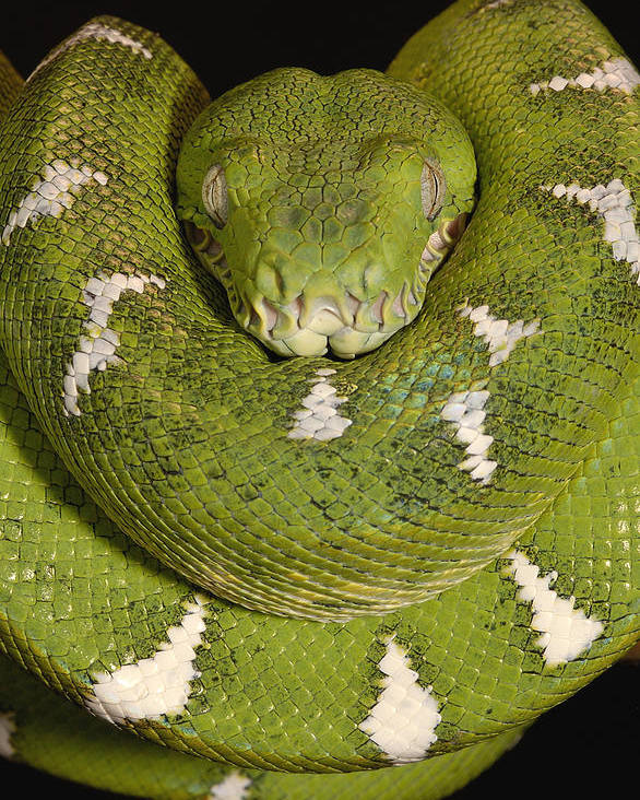Mp Poster featuring the photograph Emerald Tree Boa Corallus Caninus by Pete Oxford