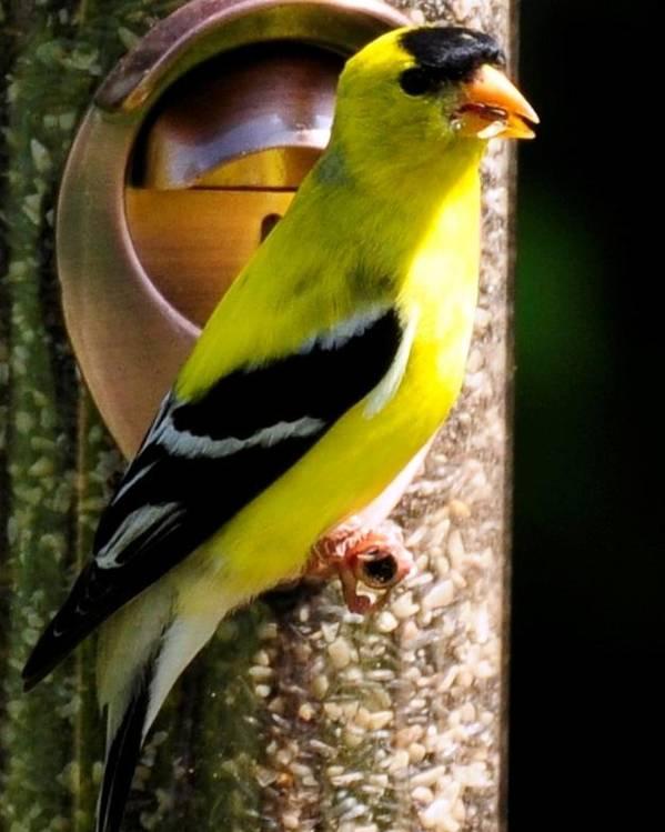 Bird Poster featuring the photograph Golden Finch by Terri Albertson