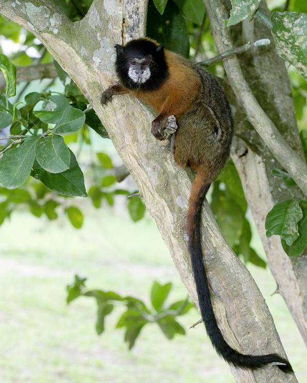Golden-mantled Tamarin Poster featuring the photograph Golden-mantled Tamarin by Tony Camacho
