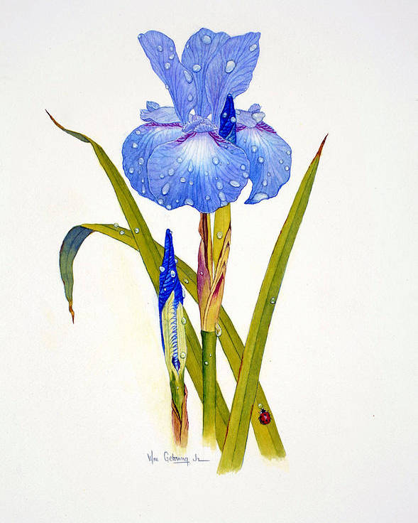 Flowers Poster featuring the painting Japanese Iris by Bill Gehring