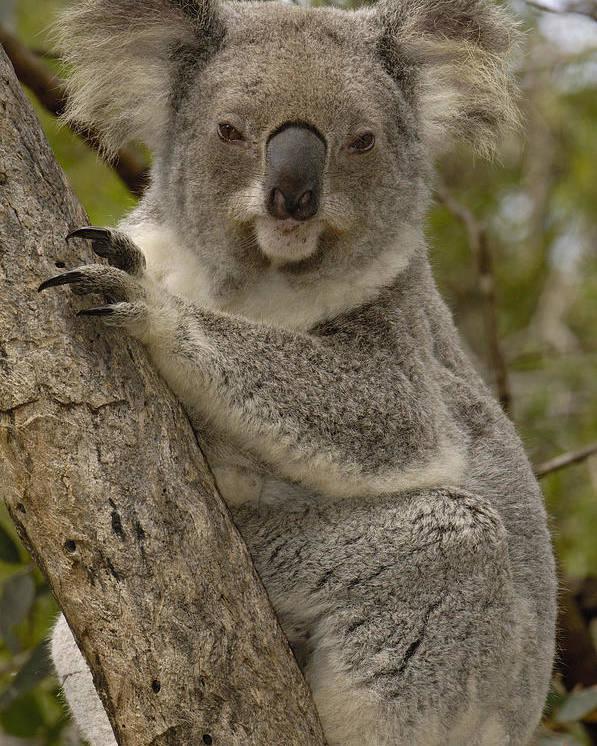 Mp Poster featuring the photograph Koala Phascolarctos Cinereus Portrait by Pete Oxford