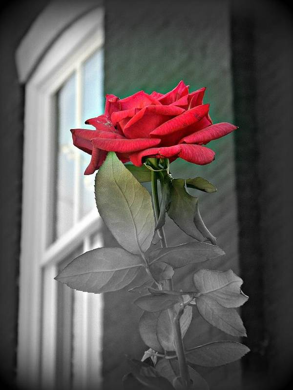 Rose Poster featuring the photograph Love by Stacy Dunlap