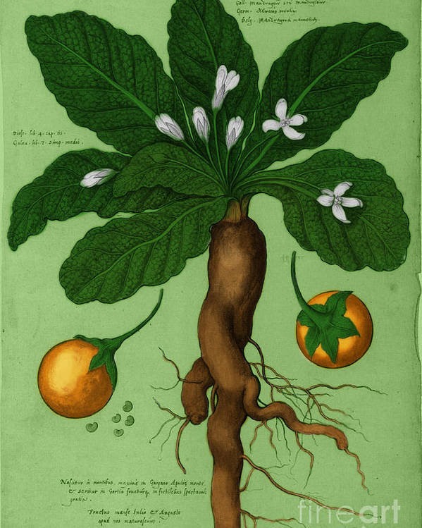 Mandrake Root Alchemy Plant Poster by Science Source