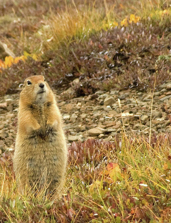 Marmot Poster featuring the photograph Not Me by Jim and Kim Shivers