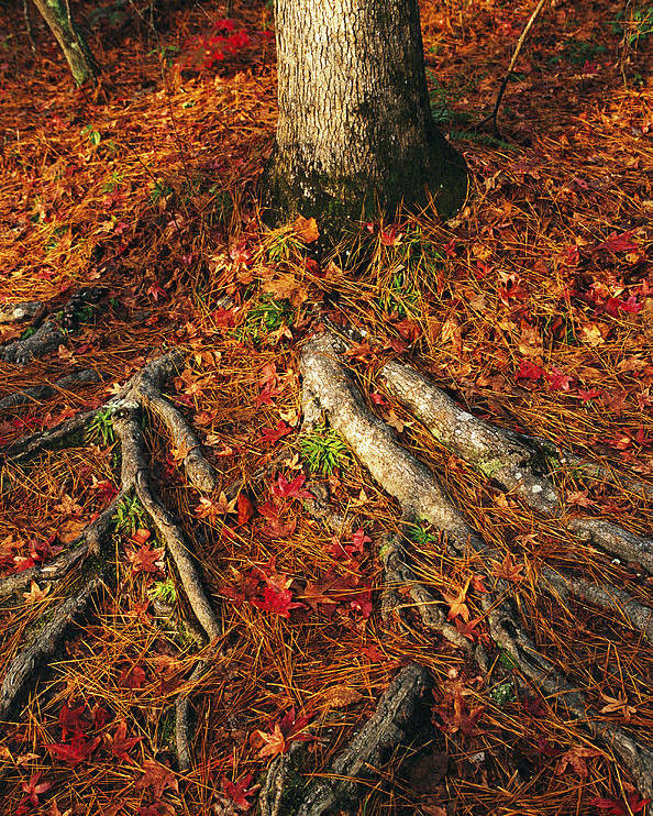 North America Poster featuring the photograph Oak Tree Roots And Pine Needles by Raymond Gehman