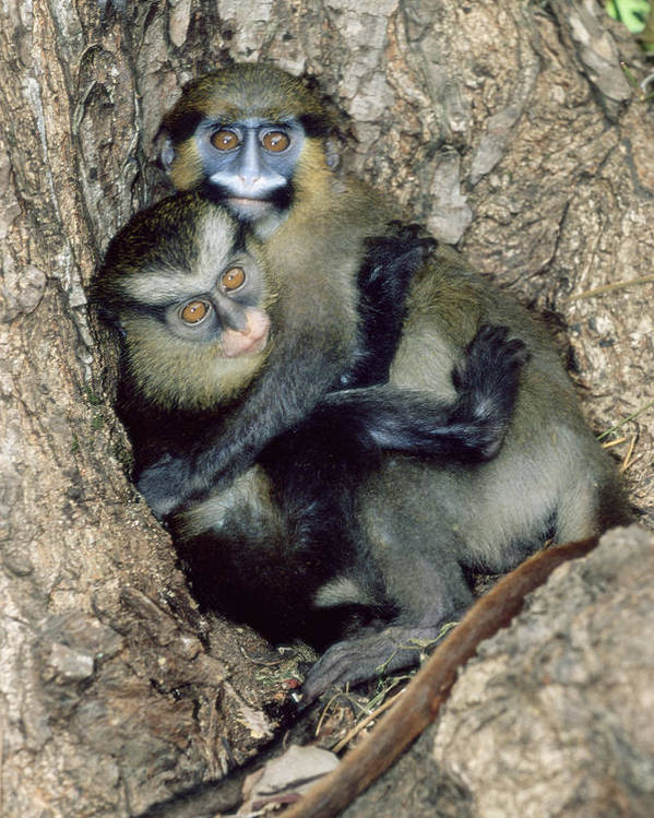 Cercopithecus Mona Poster featuring the photograph Orphaned Guenons by Tony Camacho