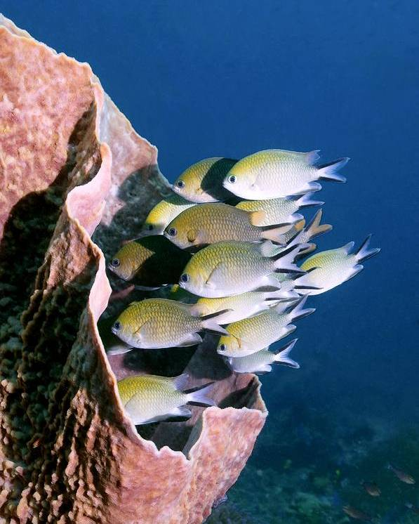 Chromis Scotochiloptera Poster featuring the photograph Philippines Chromis by Georgette Douwma