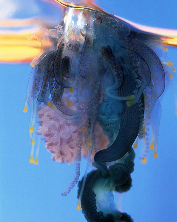 Portuguese Man-of-war Poster featuring the photograph Portuguese Man-of-war by Georgette Douwma