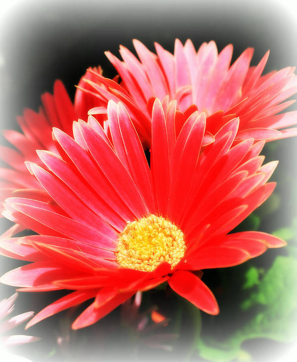 Gerbera Daisies Poster featuring the photograph Pretty In Pink by Rebecca Frank