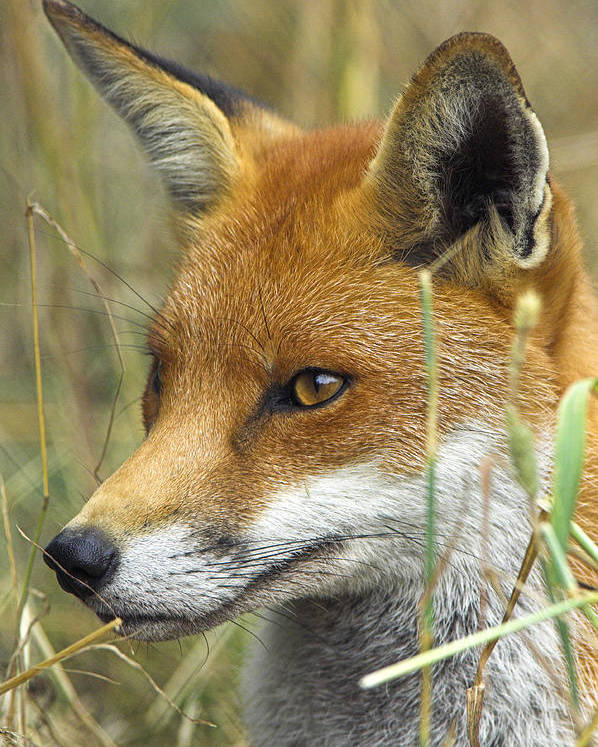 Vulpes Vulpes Poster featuring the photograph Red Fox by Duncan Shaw