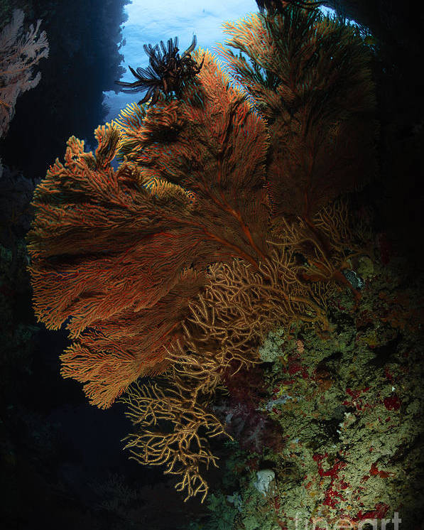 Sea Life Poster featuring the photograph Sea Fans, Fiji by Todd Winner