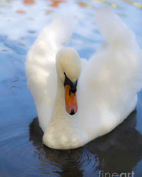 Swan Poster featuring the photograph Serenity by Leslie Leda