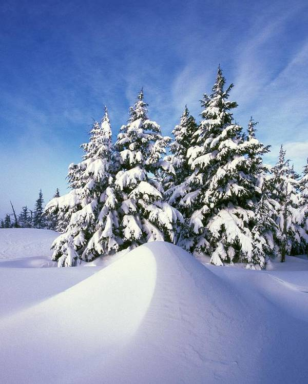 Outdoors Poster featuring the photograph Snow-covered Pine Trees by Natural Selection Craig Tuttle