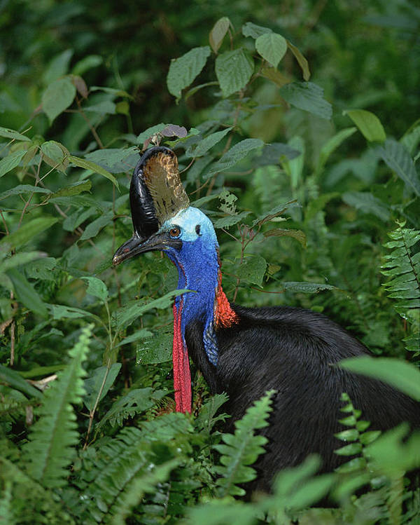 Mp Poster featuring the photograph Southern Cassowary Casuarius Casuarius by Konrad Wothe