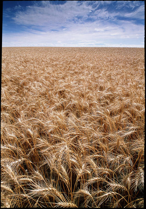 Triticum Sp. Poster featuring the photograph Wheat by David Nunuk
