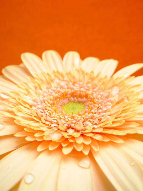 Gerbera Photographs Poster featuring the photograph 1523-001 by Kimberlie Gerner