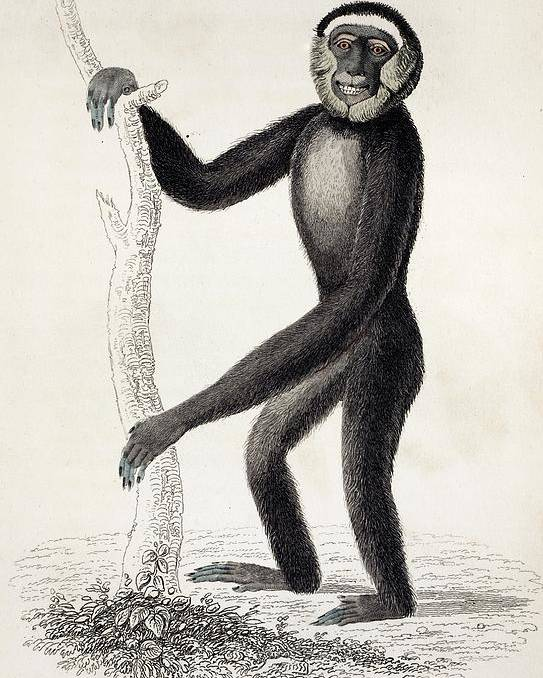 19th Century Poster featuring the photograph 1833 Jardine Hylobates Hoolock Gibbon by Paul D Stewart