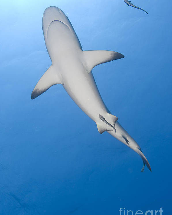 English Reef Poster featuring the photograph Gray Reef Shark With Remora, Papua New by Steve Jones