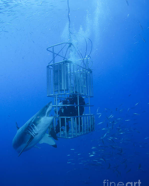 Carcharodon Carcharias Poster featuring the photograph Great White Shark And Divers, Guadalupe by Todd Winner