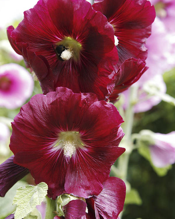 Althea Rosea Poster featuring the photograph Hollyhock (alcea Rosea) by Dr Keith Wheeler