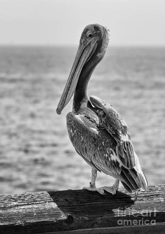 Pelican Poster featuring the photograph Pelican Portrait by Eddie Yerkish