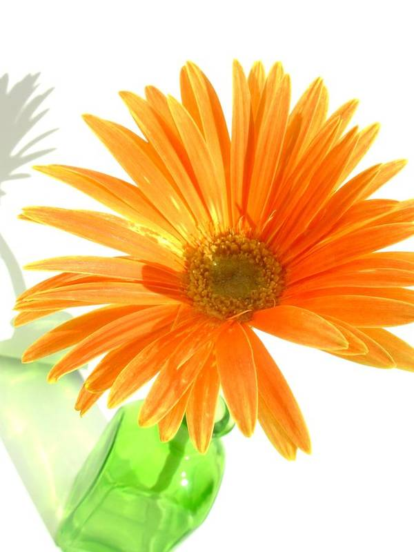 Gerbera Photographs Poster featuring the photograph 2107c-001 by Kimberlie Gerner