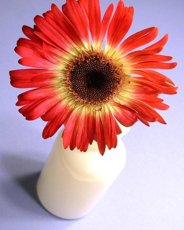 Gerbera Photographs Poster featuring the photograph 2207c1-002 by Kimberlie Gerner