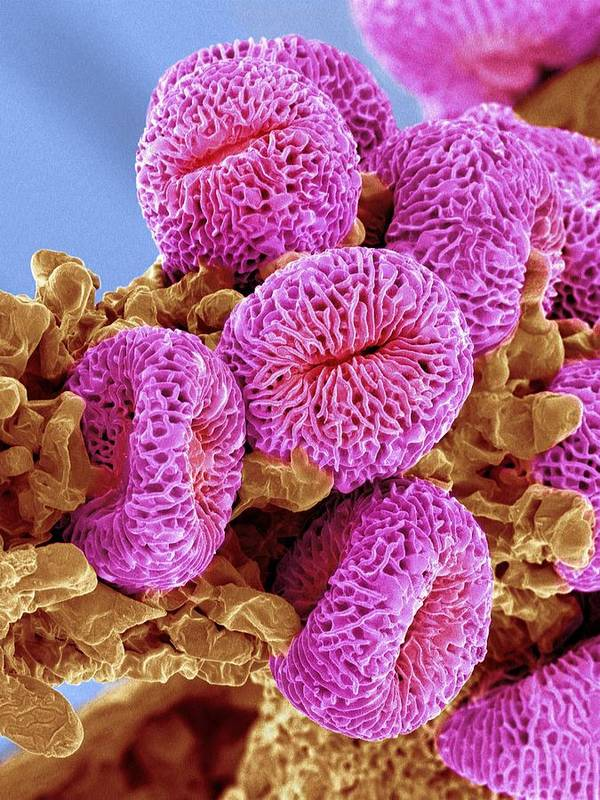 Geranium Sp. Poster featuring the photograph Geranium Pollen, Sem by Susumu Nishinaga