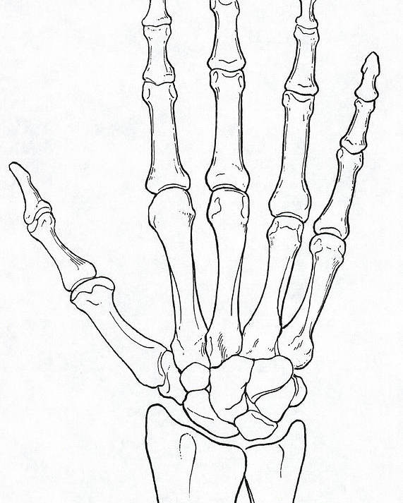 Hand And Wrist Bones Poster By Science Source