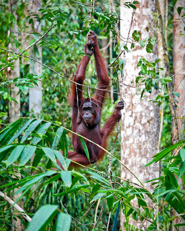 Orangutan Poster featuring the photograph Orangutang In Rainforest by Gualtiero Boffi