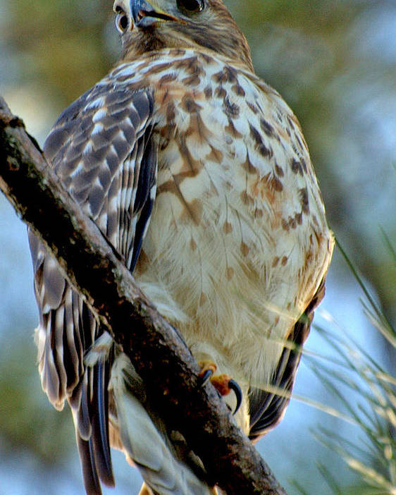 Red Poster featuring the photograph Red Shouldered Hawk by David Brown