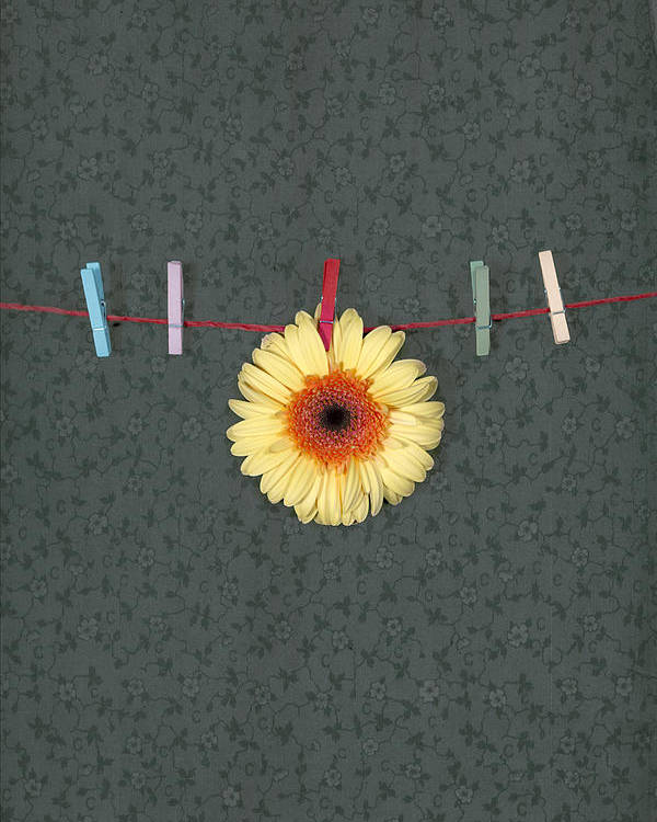 Gerbera Poster featuring the photograph Gerbera by Joana Kruse