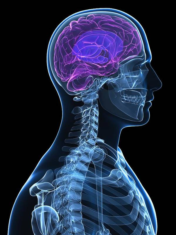 Artwork Poster featuring the photograph Head Anatomy, Artwork by Sciepro