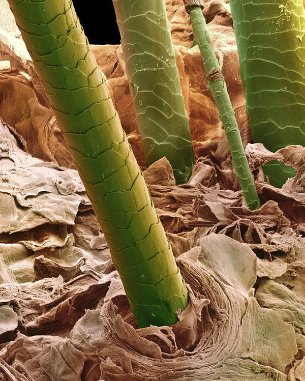 Cuticle Poster featuring the photograph Human Hair, Sem by Steve Gschmeissner
